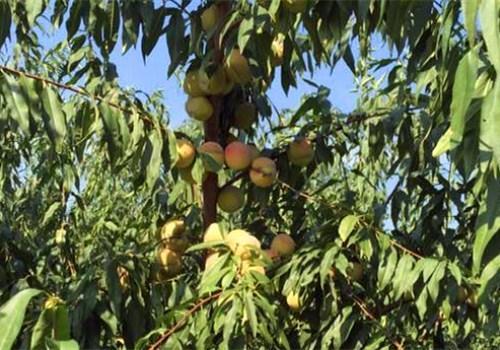 雪桃苗的价格是多少钱一棵?详解它的种植方法!